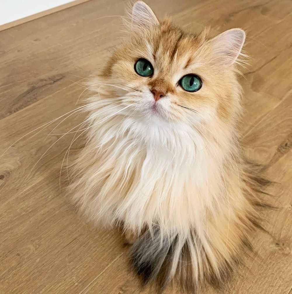 """Smoothie the Cat is """"Queen of Fluff."""""""