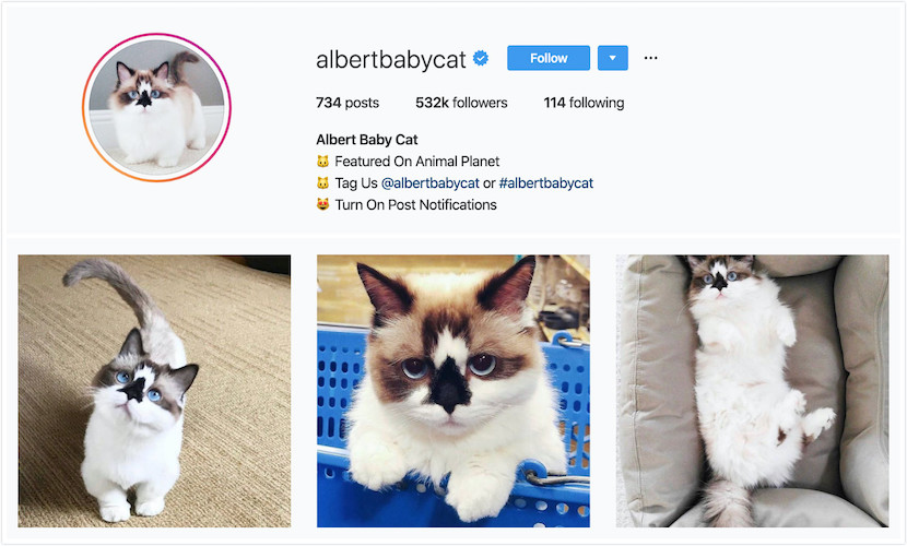 Instagram Profile of Albert Baby Cat