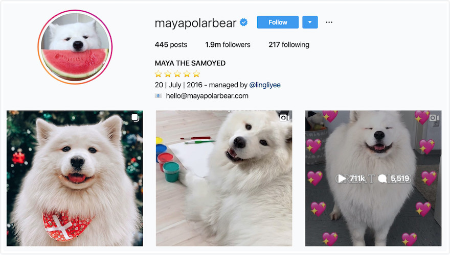 Instagram Profile of Maya the Samoyed