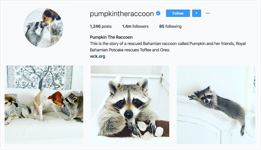 Instagram Profile Pumpkin the Raccoon