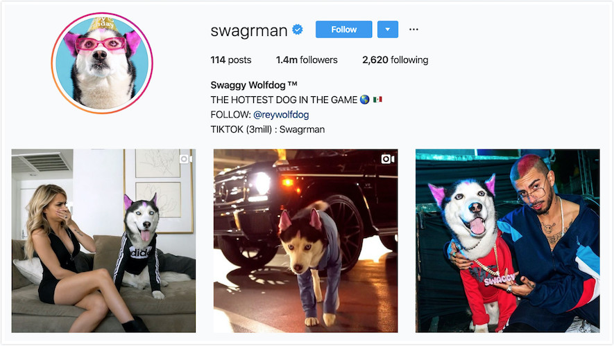 Instagram Profile of Swaggy Wolfdog